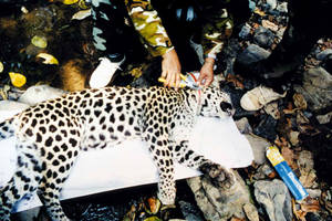 Dr. Lon Grassman holding a collared black leopard in Thailand.