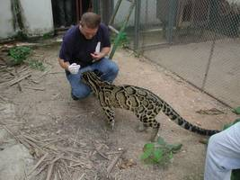 Dr. Jan Janecka is collecting hair samples from captive clouded leopard.