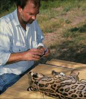 Dr. Michael Tewes collaring an ocelot captured in southern Texas.