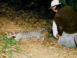 Research Associate Arturo Caso releasing an ocelot in Mexico.