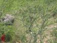 Blackbrush Acacia Caesar Kleberg Wildlife Research Institute